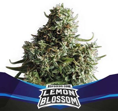 SensorySeeds Pianta Lemon Blossom Autofiorente