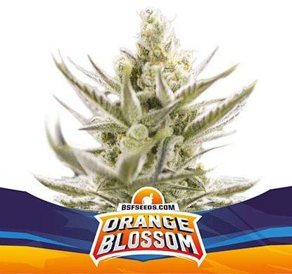 SensorySeeds Pianta Orange Blossom Autofiorente