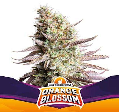 SensorySeeds Pianta Orange Blossom Femminizzata