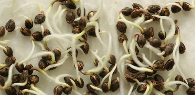 semi di canapa veloci per coltivare outdoor