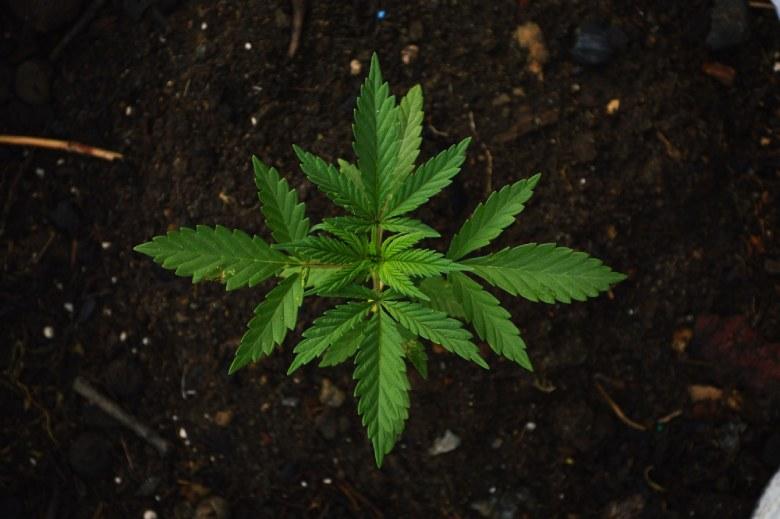 coltivazione outdoor in vaso semi autofiorenti