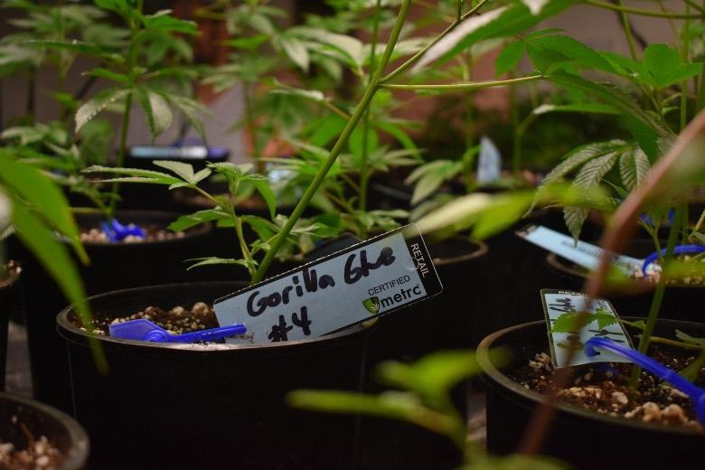 germinazione semi autofiorenti in terra