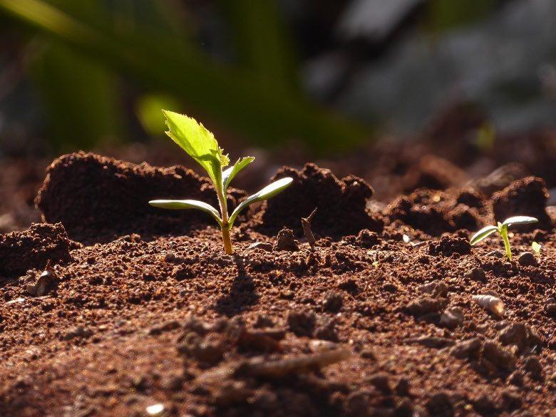 metodi germinazione semi di cannabis