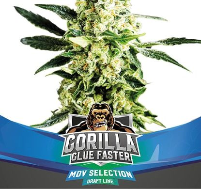 Semi di Marijuana Gorilla Glue