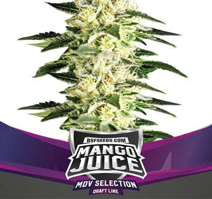 Pianta di semi di cannabis Mango Juice