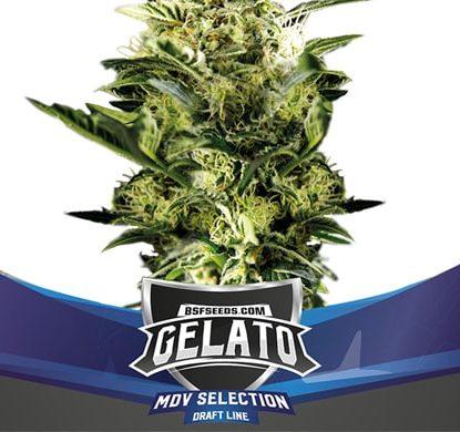 Piante di Gelato XXL di semi di cannabis autofiorenti