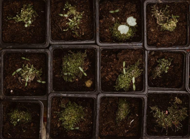 semi autofiorenti germinazione al buio o alla luce