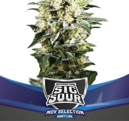 Semi di Cannabis Sig Sour XXL