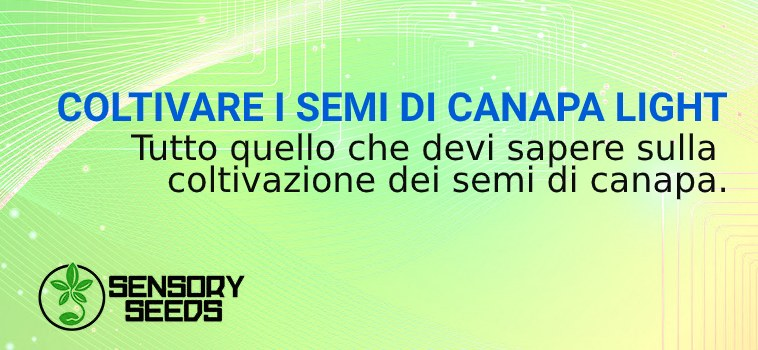 COLTIVARE I SEMI DI CANNABIS LIGHT