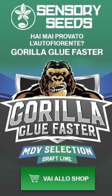Banner Sensoryseeds Gorilla Glue semi di cannabis fast flowering