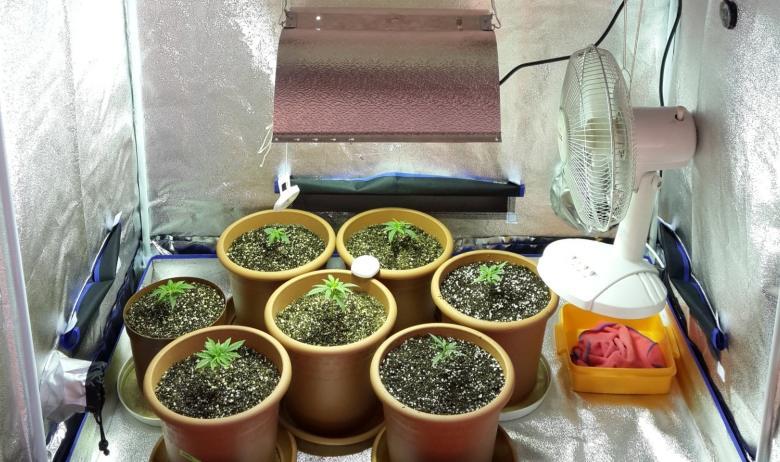 coltivazione rudimentale semi di cannabis