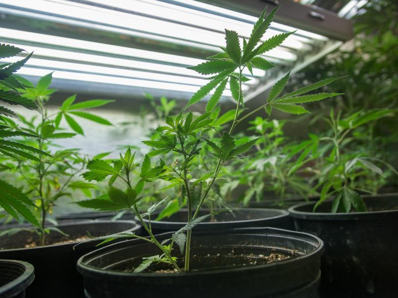 far germogliare semi di cannabis