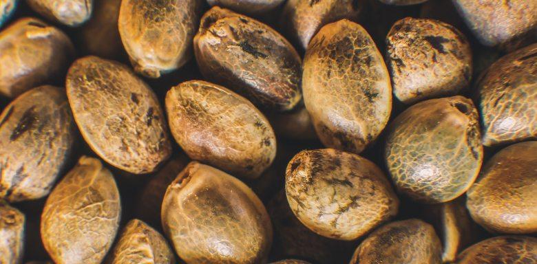 semi di cannabis online bsf seeds