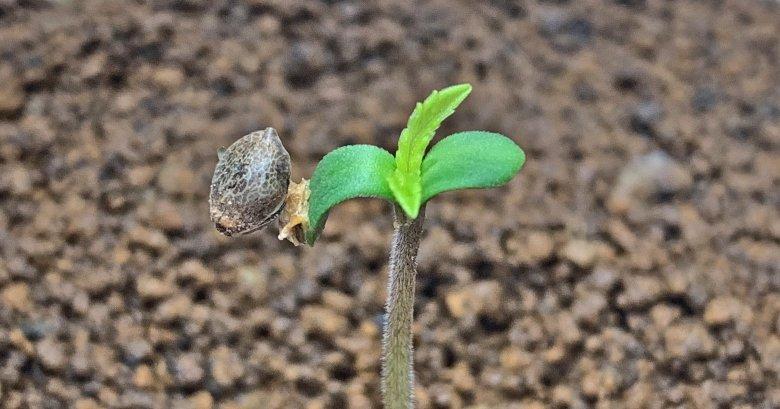 Piantare seme di cannabis in appartamento
