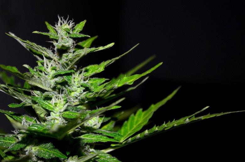 piante nate da semi di cannabis femminizzati