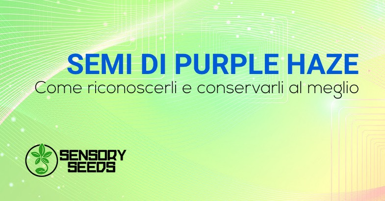 SEMI DI CANNABIS Purple Haze
