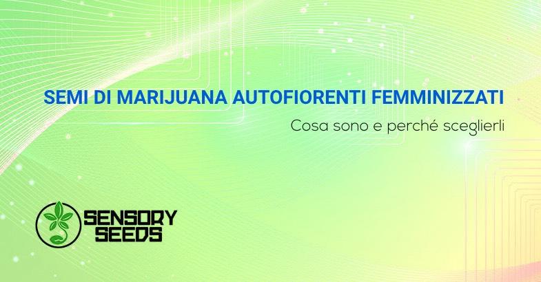 Semi di marijuana autofiorenti femminizzati