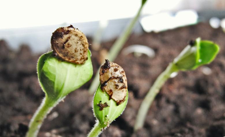 semi autofiorenti italia e semi femminizzati