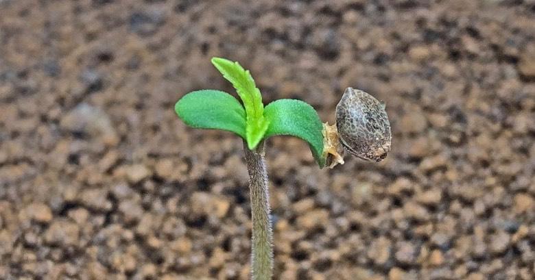 semi di cannabis autofiorenti femminizzati