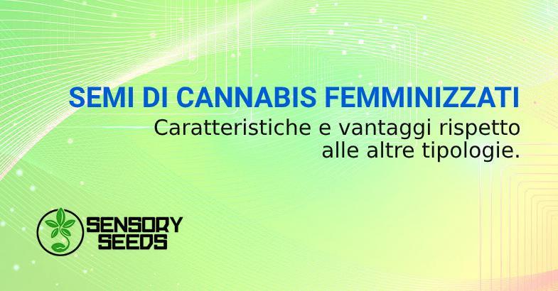 Semi di cannabis femminizzati vantaggi su altre tipologie