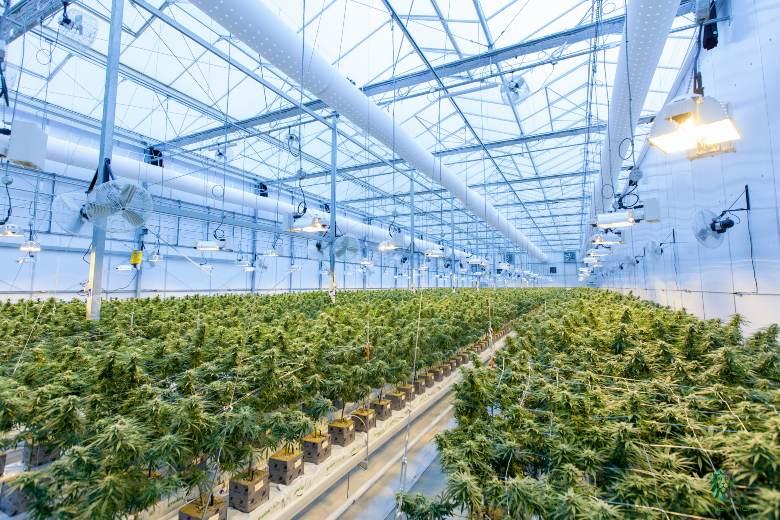 coltivare semi di cannabis senza commettere reato
