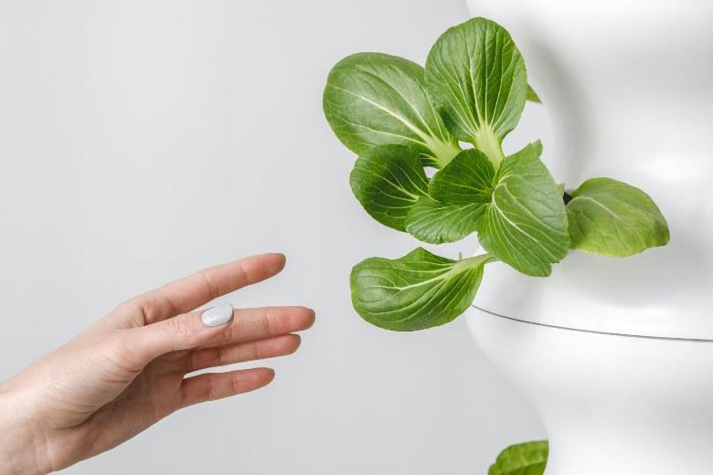 coltivare semi di marijuana con serra idroponica