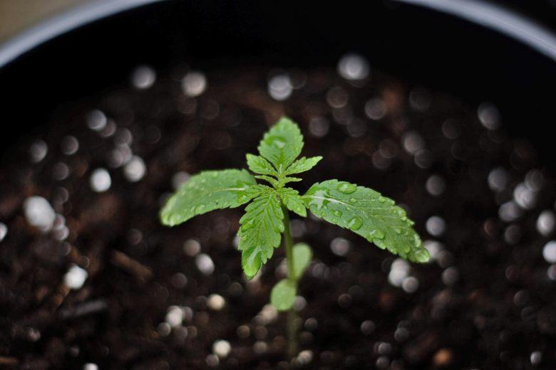 come coltivare un bonsai dai semi di cannabis