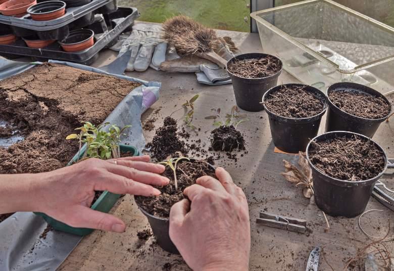 quando coltivare i semi di cannabis
