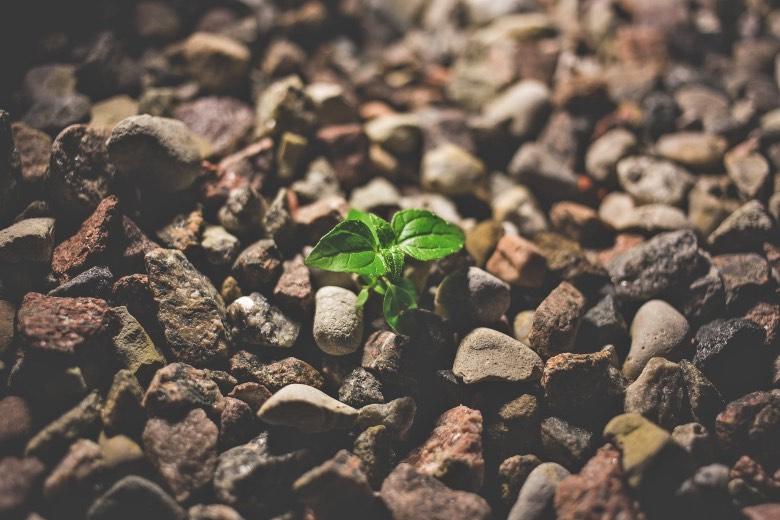 semi da piante femminizzate di cannabis