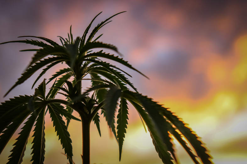 foglie di marijuana