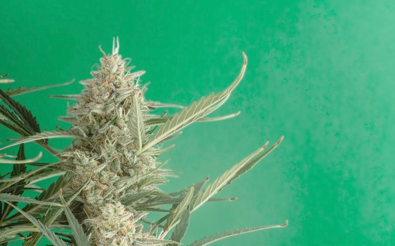pianta di cannabis godzilla glue resa