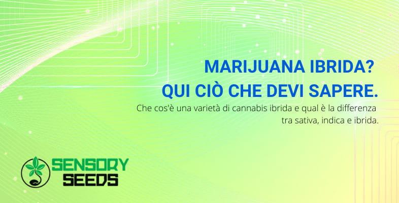marijuana ibrida