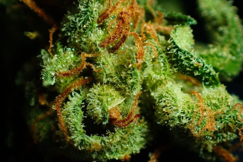 fiore di cannabis su cui è visibile la resina
