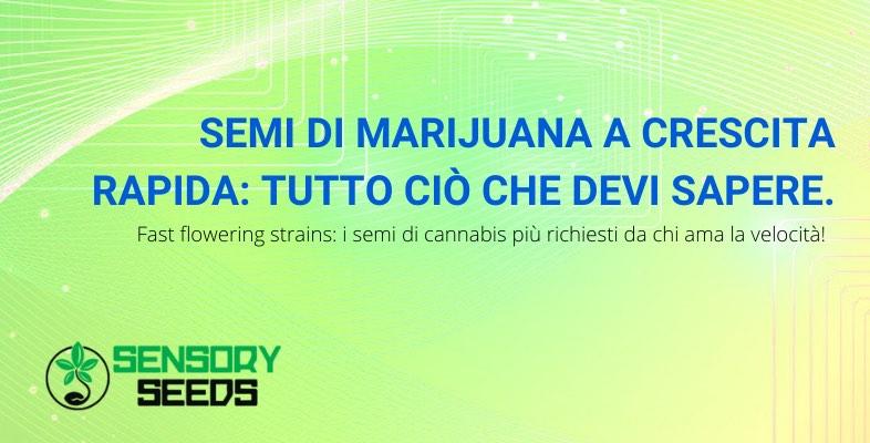 semi di marijuana crescita rapida