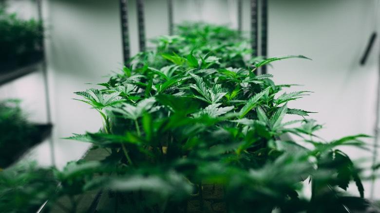 cannabis autofiorente coltivata in un piccolo ambiente