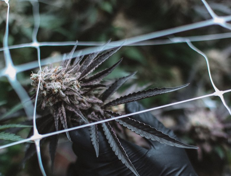 cannabis autofiorente con genetica ruderalis
