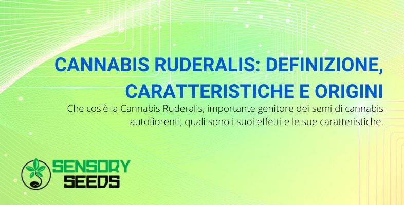 cannabis ruderalis origini e caratteristiche