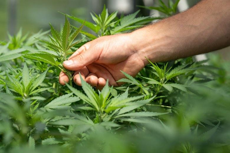 coltivatore di cannabis che verifica ermafroditismo di una pianta