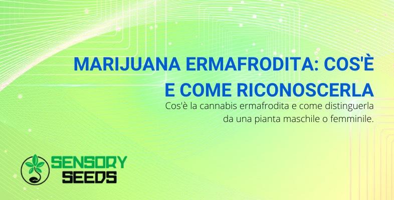 marijuana ermafrodita