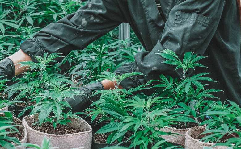 preparazione del flushing della cannabis