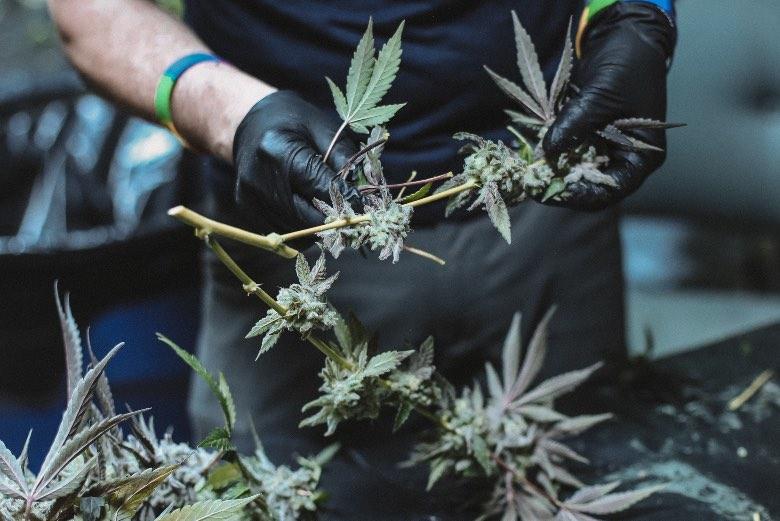 raccolta dei fiori di cannabis