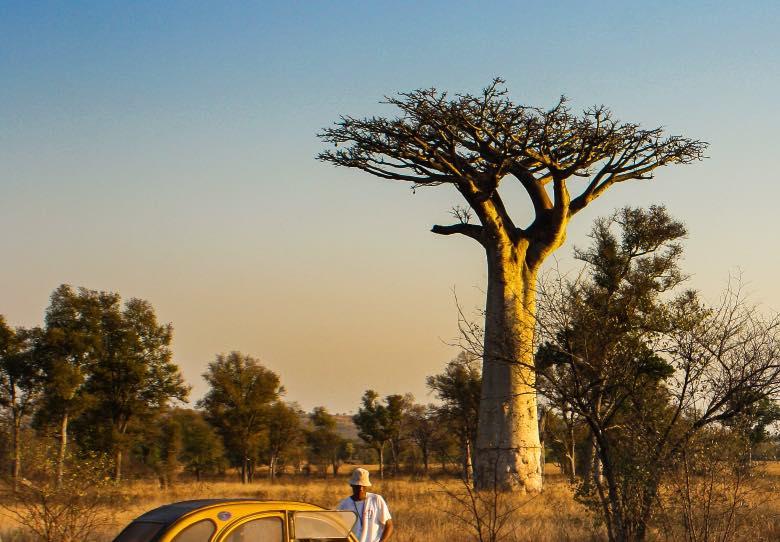 albero baobab con rami orizzontali come metodo scrog