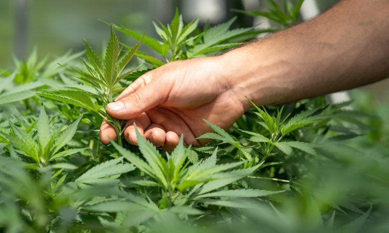 coltivatore che analizza cannabis per verificare malattie
