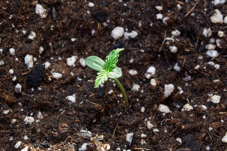 fase di plantula della cannabis autofiorente