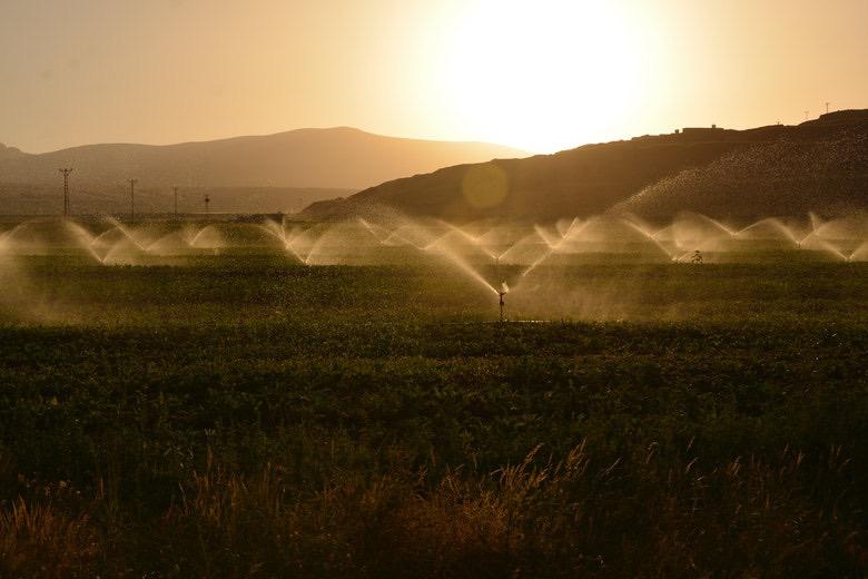irrigazione al mattino per evitare la septoriosi fogliare