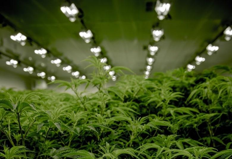 La luce artificiale si può usare per coltivare semi di cannabis