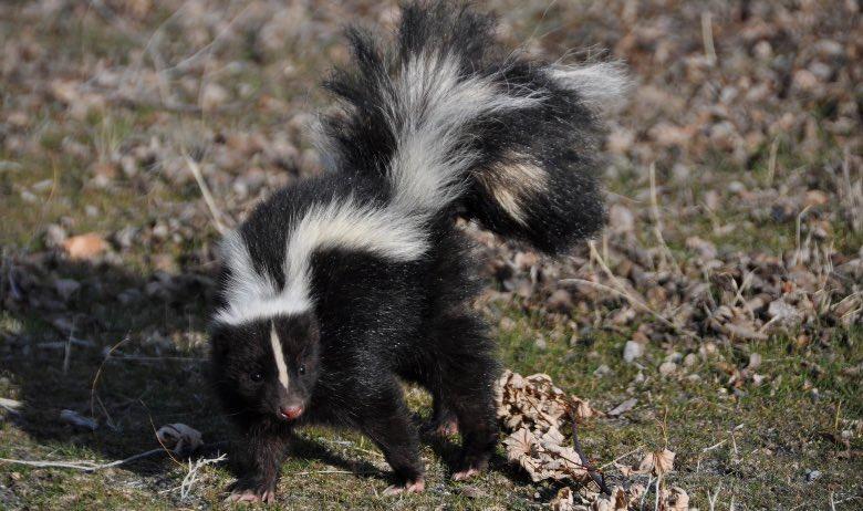 cannabis skunk significato puzzola