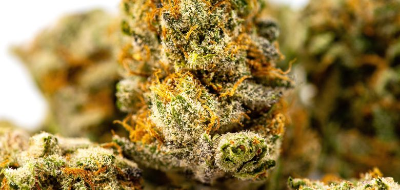 fiore di cannabis con tricomi maturi