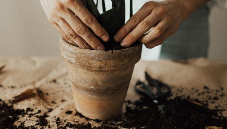 Come rinvasare una pianta di cannabis?