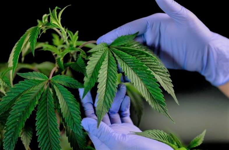Guida alla coltivazione indoor della marijuana.